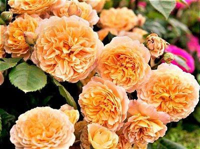 Rosa Trepadeira de Cem Pétalas cor Salmão - Espetacular