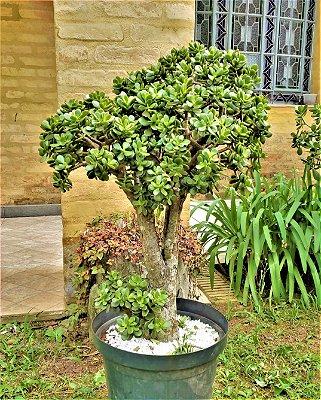 Mini Árvore da Felicidade ou Mini Jade - Plantas com 10 anos - Suculenta