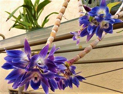Orquídea Dendrobium Victoria Reginae - RARIDADE