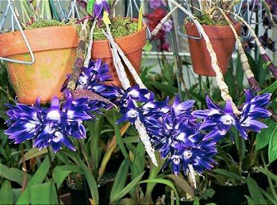 Orquídea Dendrobium Victoria Reginae ou Vitoria Regia - RARIDADE