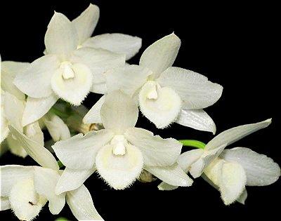 Orquídea Dendrobium Parishii Var. Alba  - Raridade