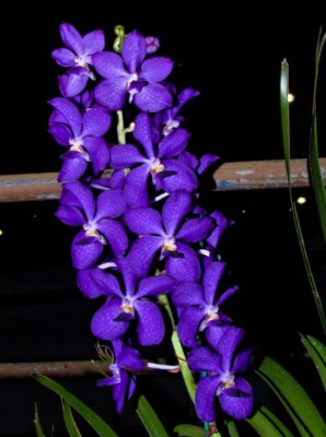 Vascostylis Blue Boy - Adulta