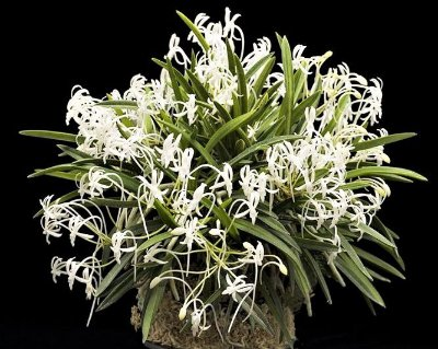 Vanda Neofinetia Falcata - RARIDADE- Planta Adulta