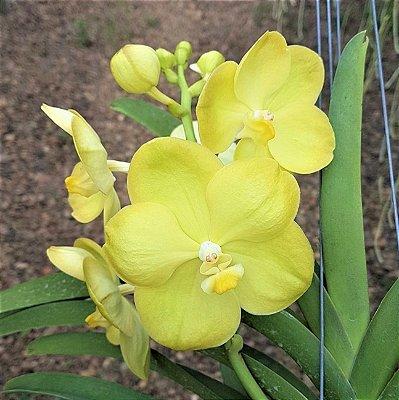Vanda Jiraprapa x Fuchs Gold - Adulta
