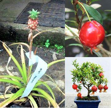 Kit c/ 3 MINI Frutas - Mini ROMÃ - Mini CEREJA - Mini ABACAXI -  p/ Vasos Pequenos e Varandas