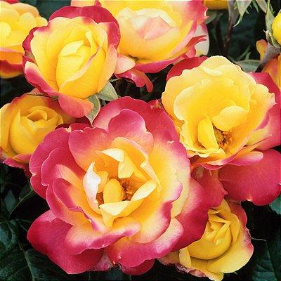 Rosa Arbustiva Confete - Muda Enxertada