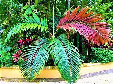 Palmeira de Folhas Vermelhas