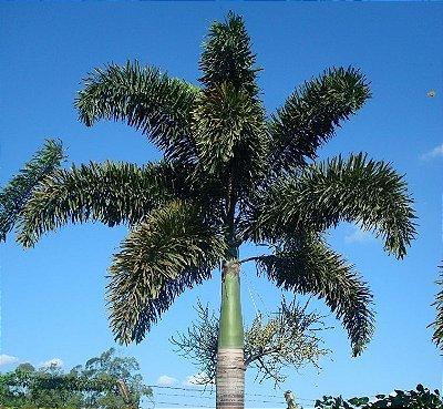 Palmeira Rabo de Raposa