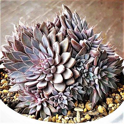 Graptopetalum Rusbyi ou Echeveria Rusby - Suculenta Importada