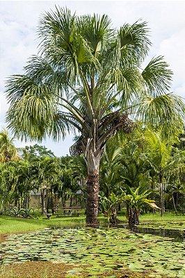 Buriti - Grande Palmeira c/ Lindas Folhas e de Excelentes Frutos