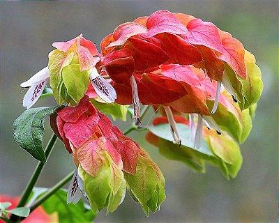 Camarão Vermelho ou Flor Camarão ou Planta Camarao