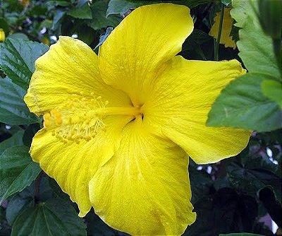 Hibiscu Amarelo Canário