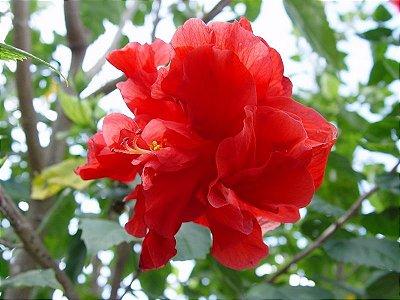 Hibiscu Vermelho Dobrado