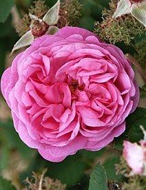 Rosa de Cem Pétalas Centifolia Rosa