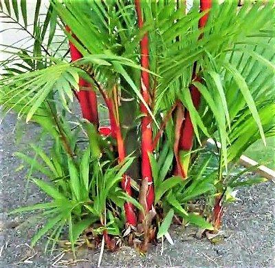 Palmeira Laca ou Renda - c/ 50 cm Altura Total