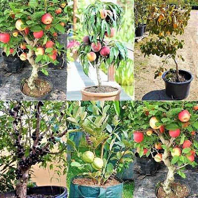 Kit primavera c/ 5 frutíferas para vasos - Maçã - Caqui - Jabuticaba - Pêssego - Goiaba