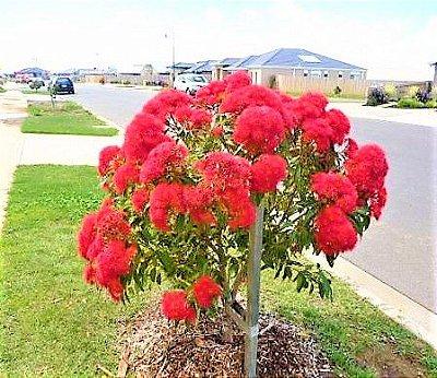 Eucalipto Anão de Flores Vermelhas