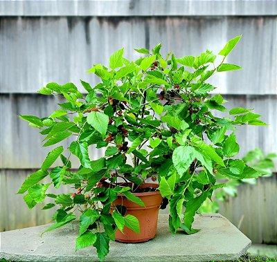 Amora Gigante Preta Arbustiva p/ Vasos