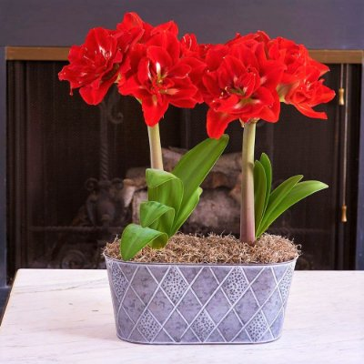amaryllis double king - Flor Dobrada