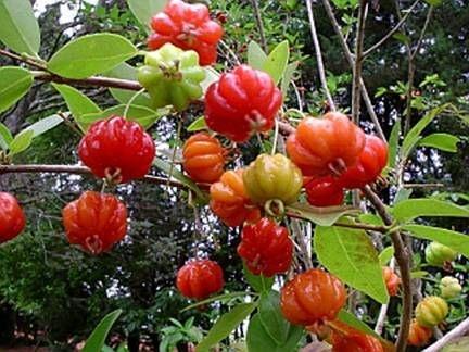Pitanga Anã - Arbustiva Produz em Vaso - Muito Doce, Crocante e Saborosa