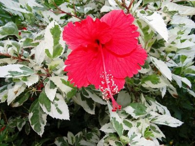 Hibisco Variegata de Flores Vermelhas