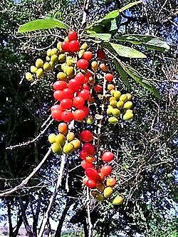 Fruto de Tucano ou Pau-Viola ou Tucaneira - Atrativo de pássaros