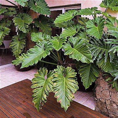 Guaimbê ou Philodendron bipinnatifidum