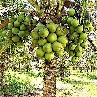 Coqueiro ou Coco Anão
