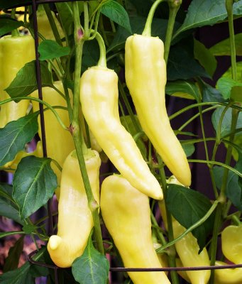 Pimenta Amarela Doce Alongada - kit c/ 10 Sementes