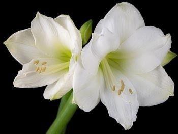 Amaryllis Intokazie - 1 Bulbo Amarilis