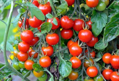 Tomate Cereja Vermelho - kit c/ 12  Sementes