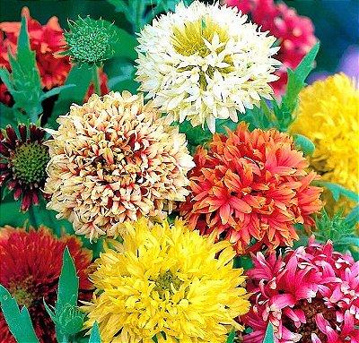 Gaillardia de Flor Dobrada - Cores sortidas - kit c/ 20 Sementes