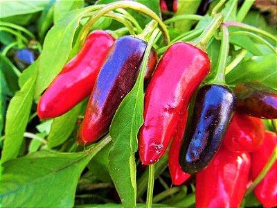 Pimenta Iberaba Jalapenho - kit c/ 12 Sementes
