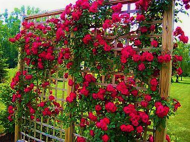 Rosa Trepadeira cor Vermelha em Cachos