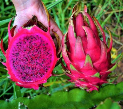 Pitaya Venus Polpa Vermelha - frutos grandes
