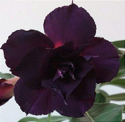Rosa do Deserto NEGRA flor dobrada - Muda ENXERTADA