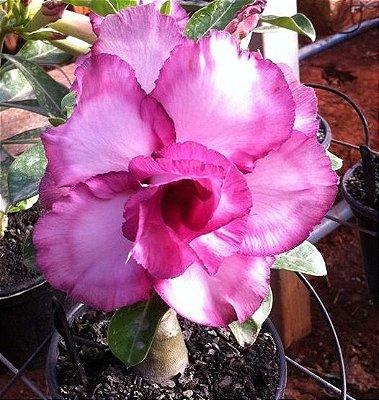 Rosa do Deserto M.A.U. Violeta flor dupla Enxertada