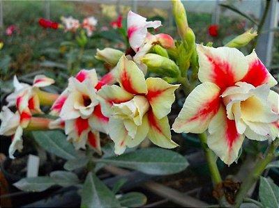 Rosa do Deserto Creme c/ Vermelho flor dupla Enxertada