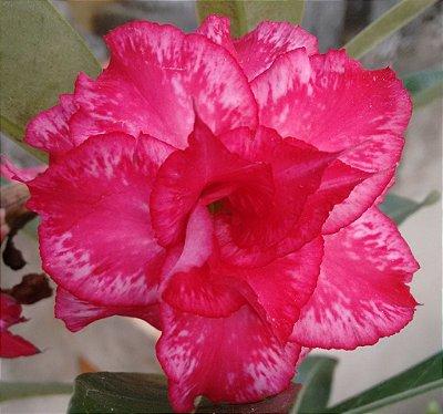 Rosa do Deserto tons de vermelho e branco mesclada flor tripla Enxertada