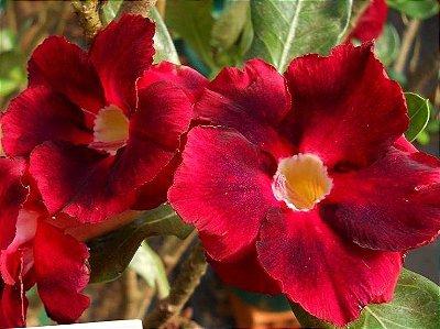 Rosa do Deserto Swan flor dupla Enxertada