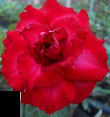 Rosa do Deserto Vermelha flor tripla Enxertada