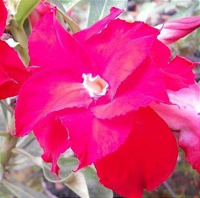 Rosa do Deserto Vermelha L7 flor dupla Enxertada