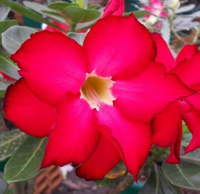 Rosa do Deserto cor Rosa bordas Vermelhas contorno Negro flor dupla Enxertada