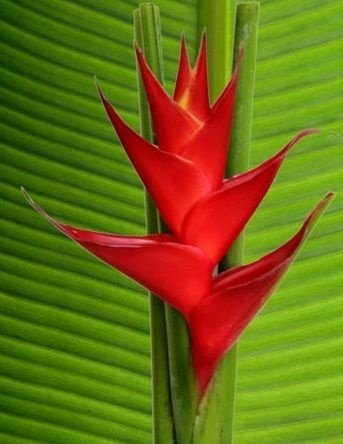 Heliconia Volcano Red -  Haste floral ascendente