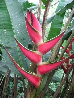 heliconia orthotricha Candy Cane - Haste floral ascendente
