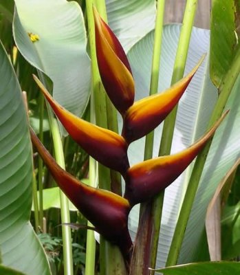 Heliconia Chocolate - Haste floral ascendente