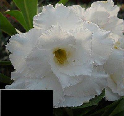 Rosa do Deserto Branca flor tripla Enxertada