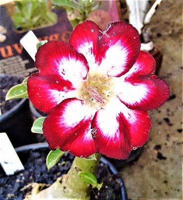 Rosa do Deserto Vinho centro Branco Enxertada