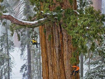 Sequoia - A maior árvore do mundo