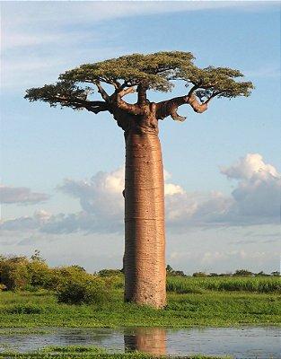 Baobá de Madagascar - Giant baoba